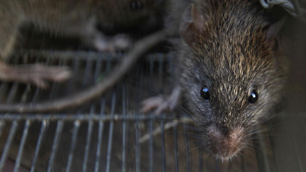 На Мадагаскаре эпидемия чумы: погибли больше 90 человек